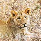 A lioness in Kruger safari park, South Africa