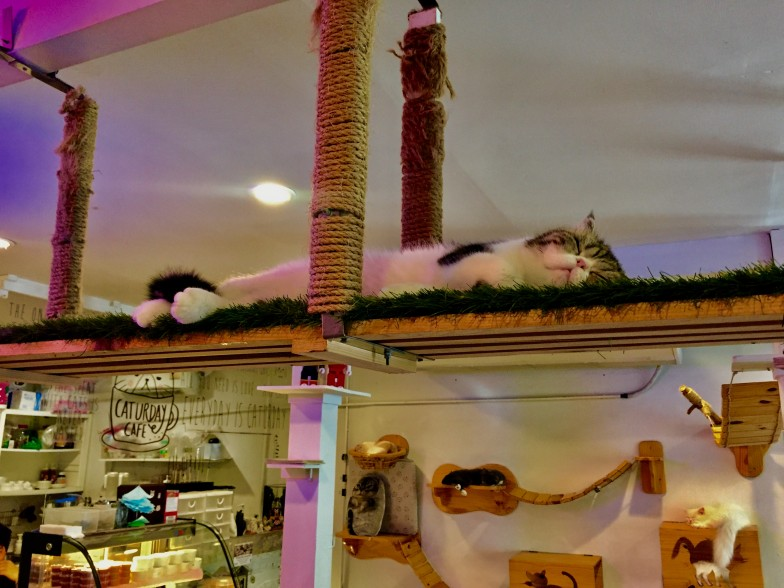 Sleeping cat at Caturday Cafe in Bangkok