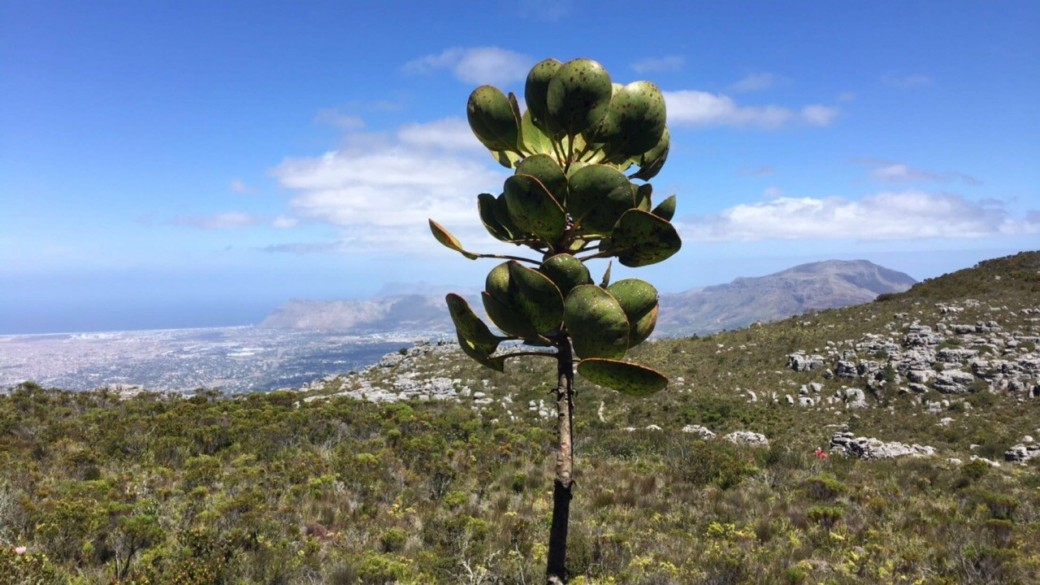 Plant on the side of Table Mountain