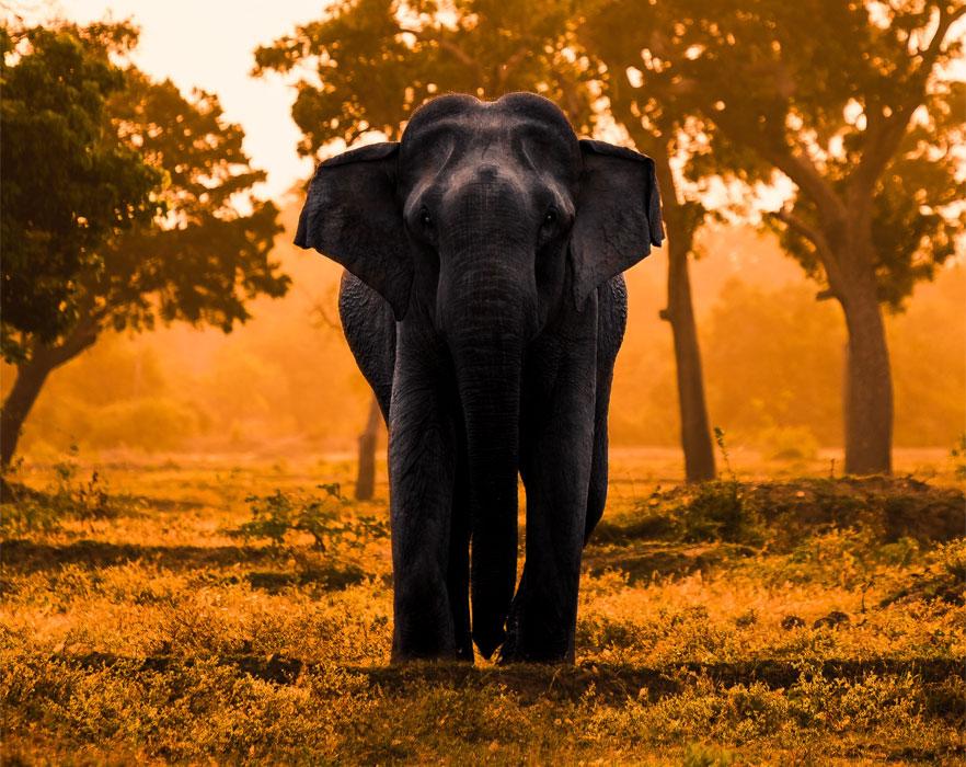 elephant in sri lanka
