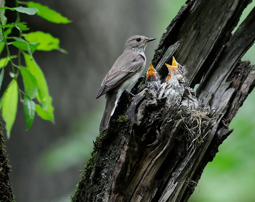 Mother bird with chicks in nest