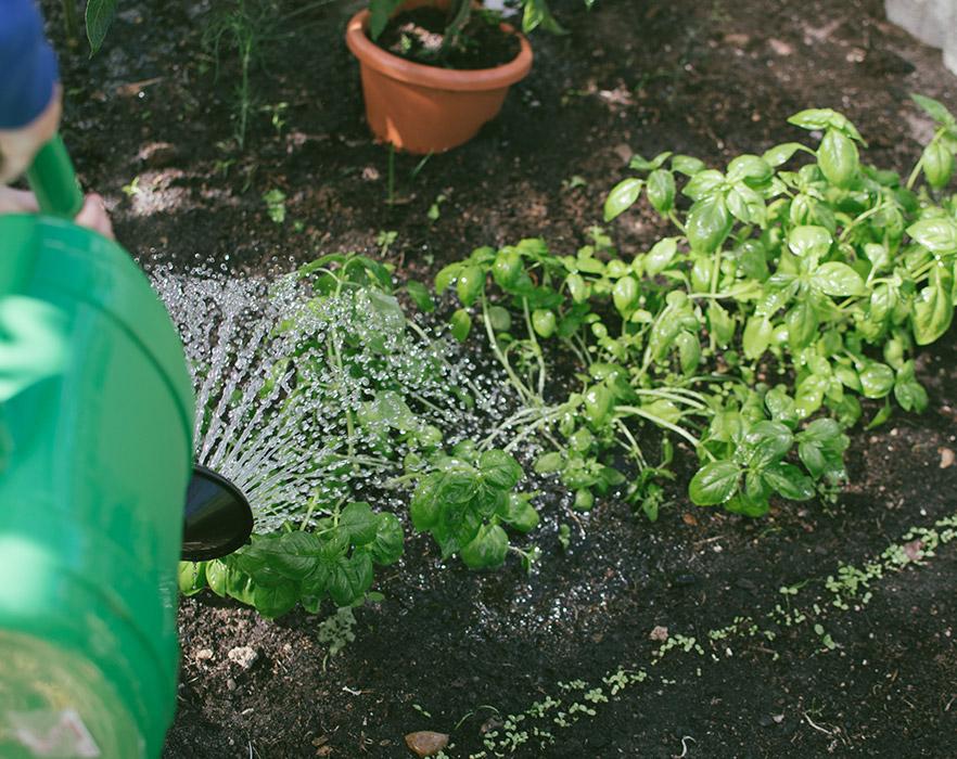Watering herb garden to reduce carbon footprint