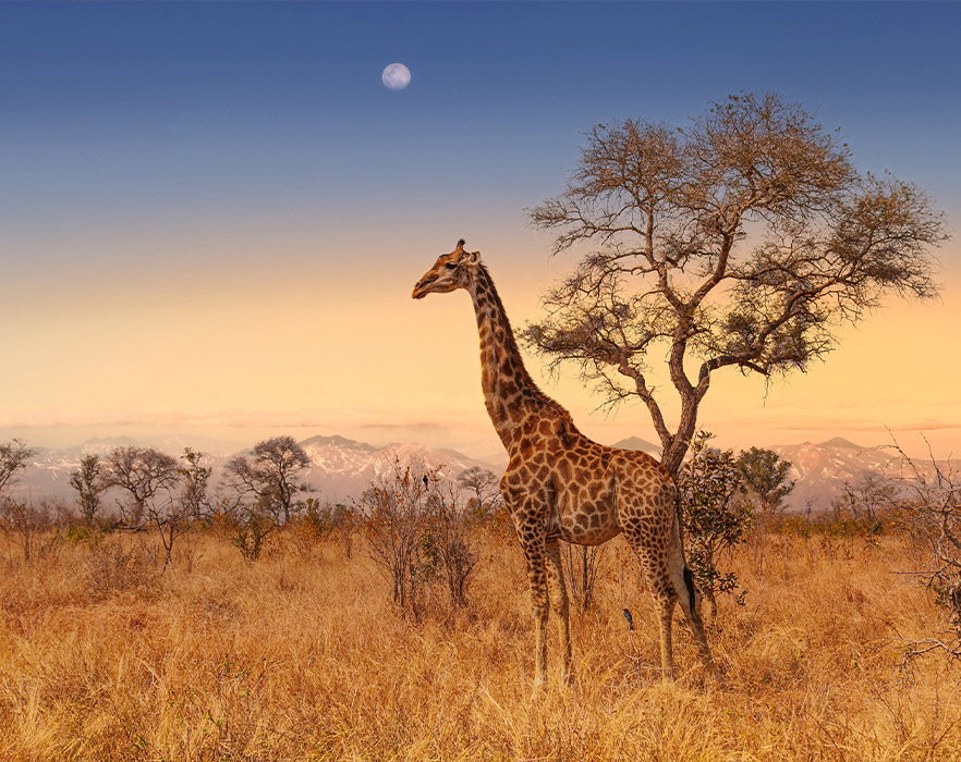 Giraffe stood in front of tree, South Africa